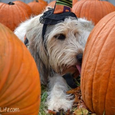 Pumpkin Licking Good