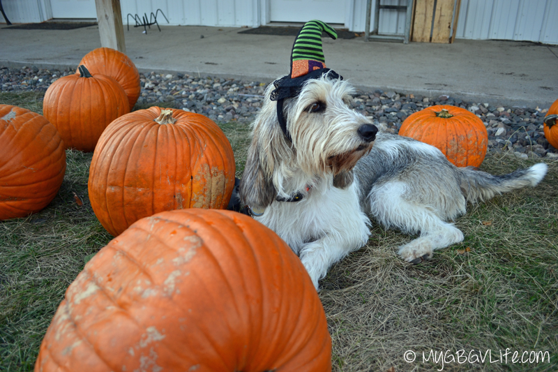 My GBGV Life Bailie chilling at the pumpkin patch