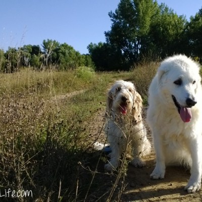 Walking With A Senior Dog #DogWalkingWeek