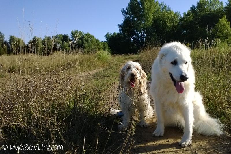 My GBGV Life senior dog katie and I on a walk