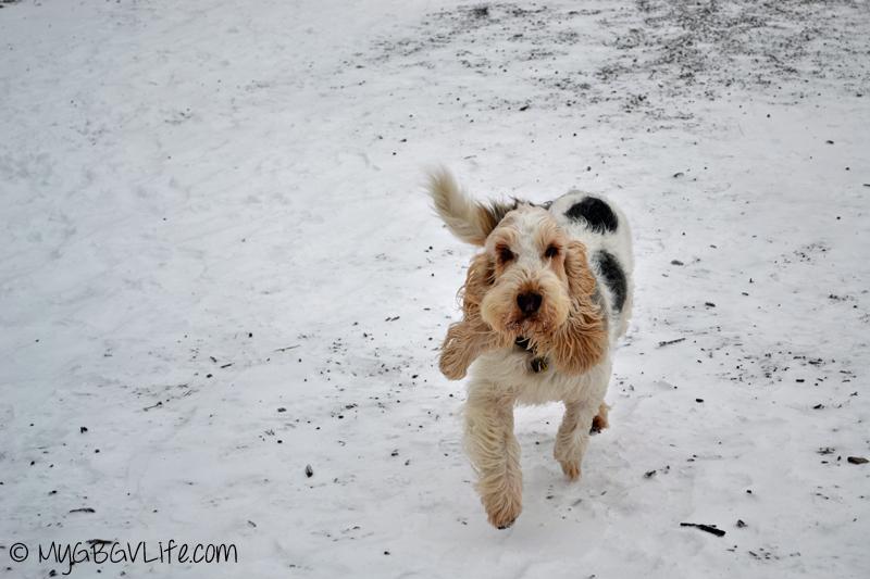 My GBGV Life Emma and recall at the dog park