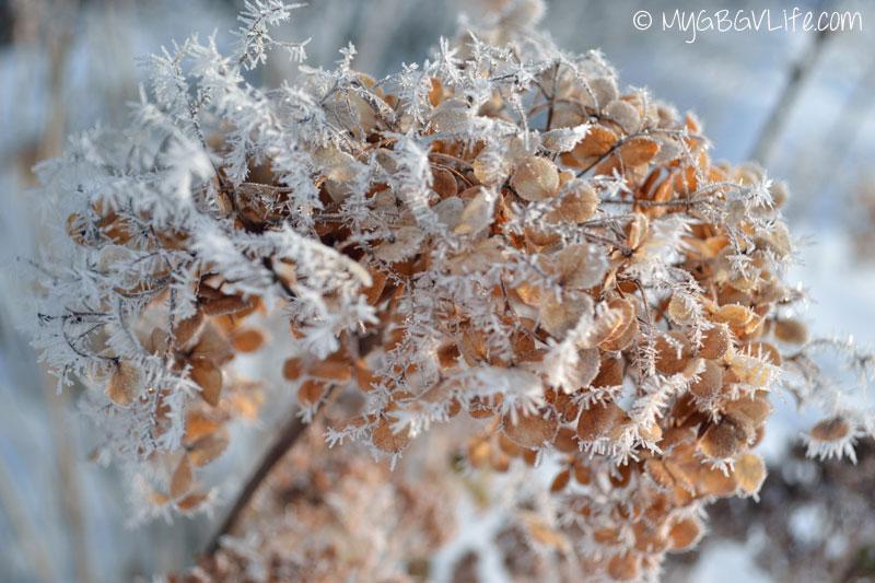 My GBGV Life winter hydrangea