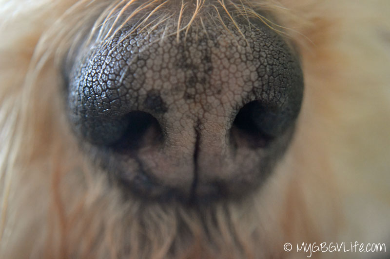 My GBGV Lift dog's nose front view