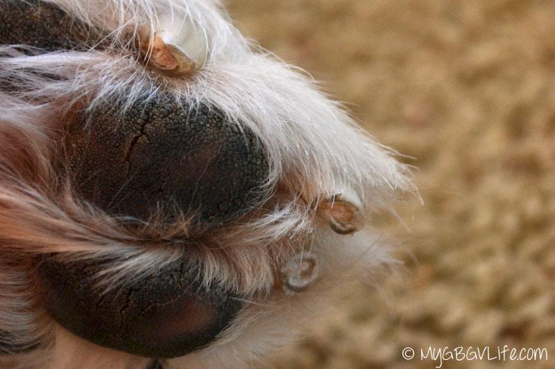 My GBGV Life worn claws from arthritis
