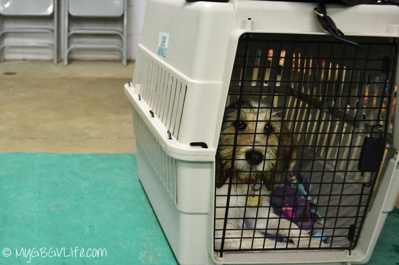 My GBGV Life Bailie crate trained