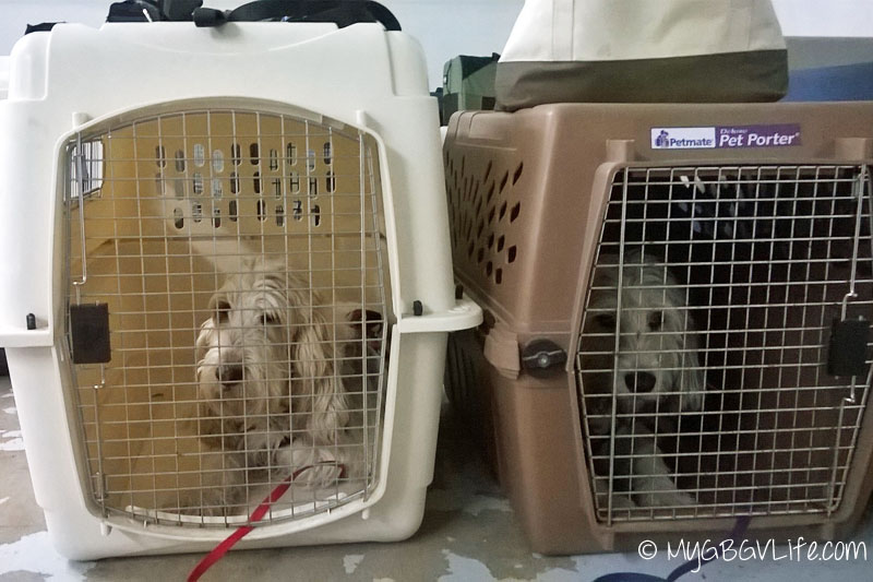 My GBGV Life crate train for dog sports