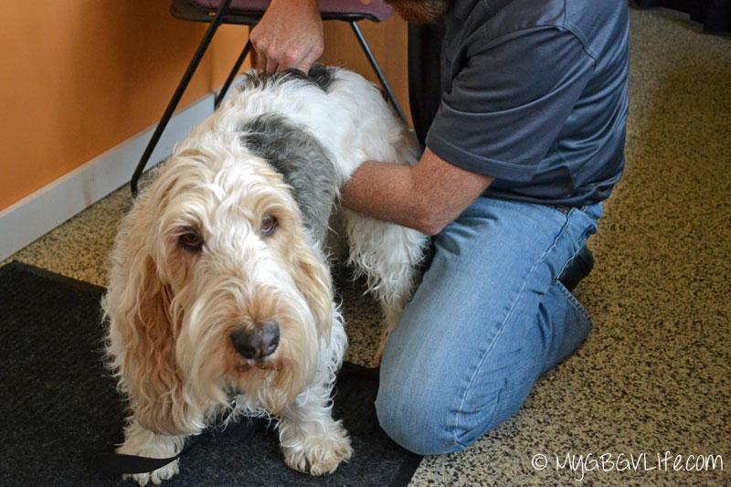 My GBGV Life animal chiropractor adjusting me