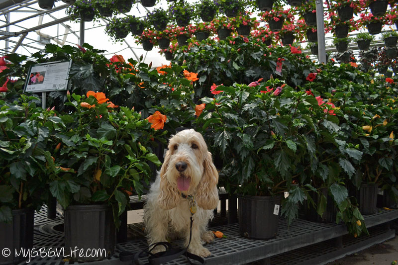 My GBGV Life dog in the flowers