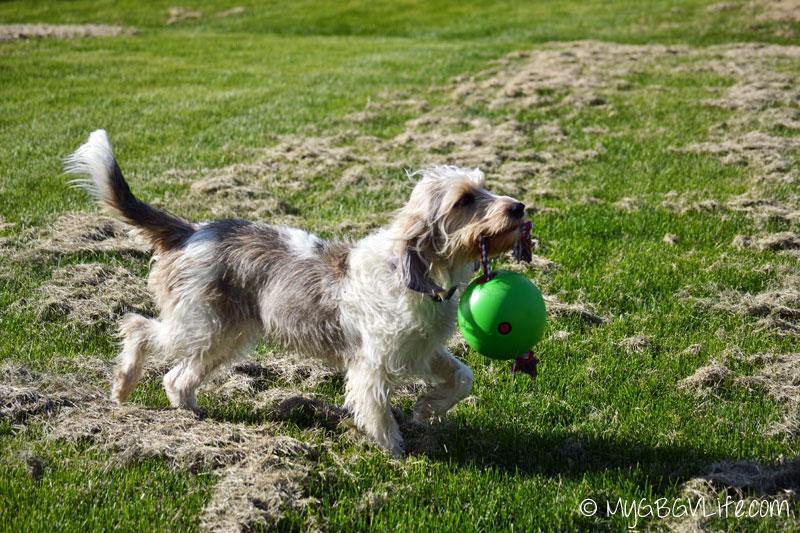 My GBGV LIfe prancing with tuggo dog toy