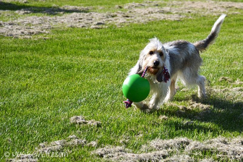 My GBGV Life racing with the tuggo dog toy