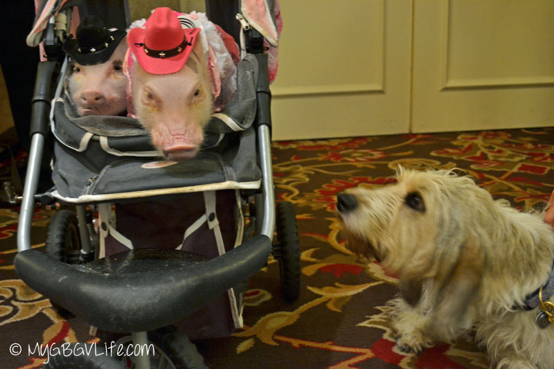 My GBGV Life PR Dog Bailie with pigs at blogpaws 2015 in nashville