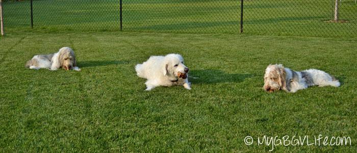 My GBGV Life enjoying chews in the yard