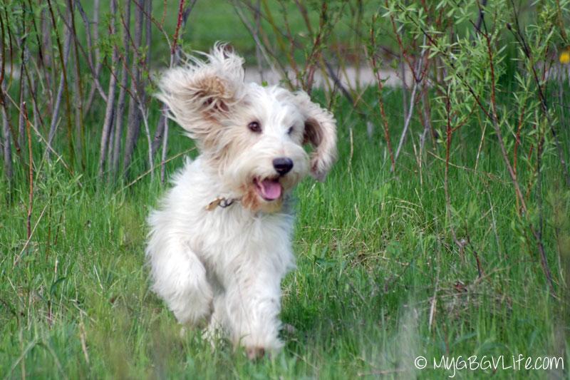 My GBGV Life a happy romp at the dog park