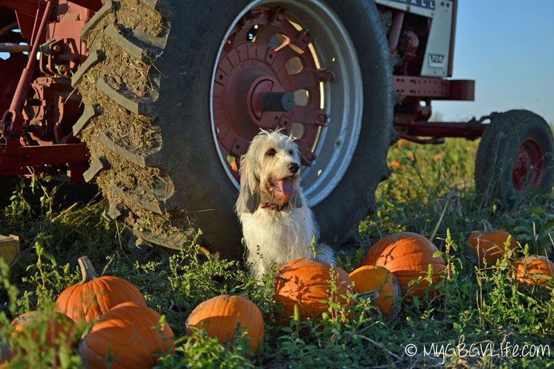 My GBGV Life sitting with pumpkins by the tractor