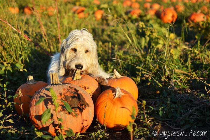 My GBGV Life Bailie chewing on pumpkin stems