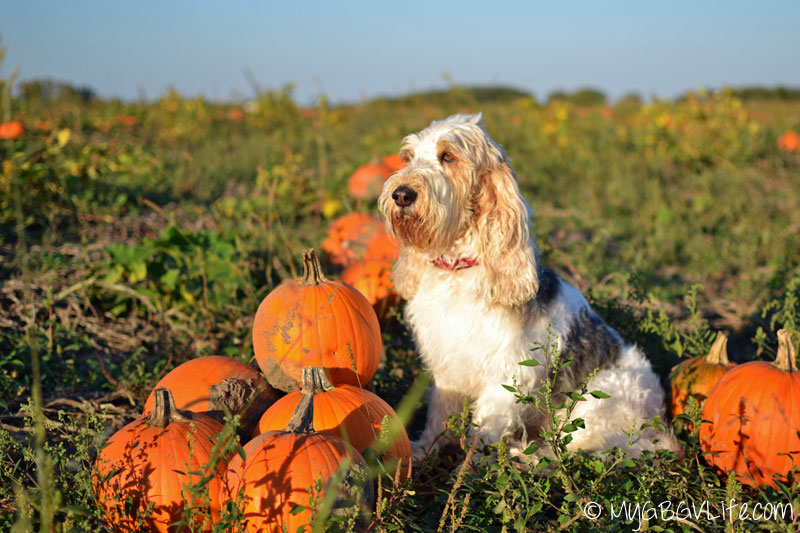 My GBGV LIfe sitting with pumpkins in the field