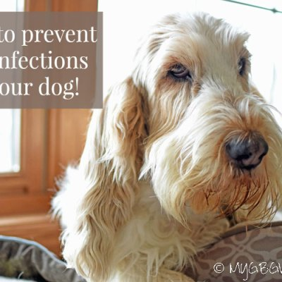 How To Prevent Ear Infections In Dogs