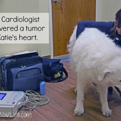 Katie Has a Mitral Valve Tumor – A Tumor In Her Heart