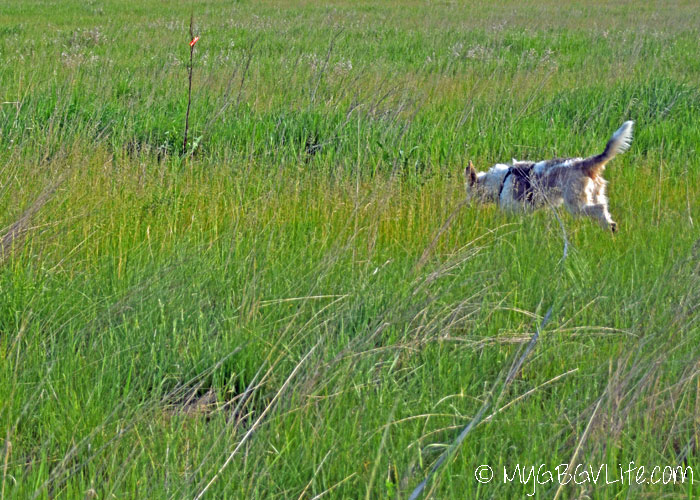 My GBGV Life Different Dogs, Different Tracking Techniques