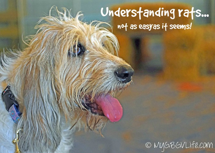 My GBGV LIfe Understanding Rats - A Lesson From Bailie