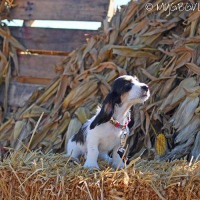 Puppy Madison Sniffs Her First Pumpkin Patch