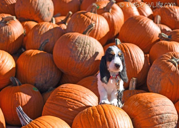 My GBGV Life Puppy Madison Sniffs Out A Pumpkin Patch