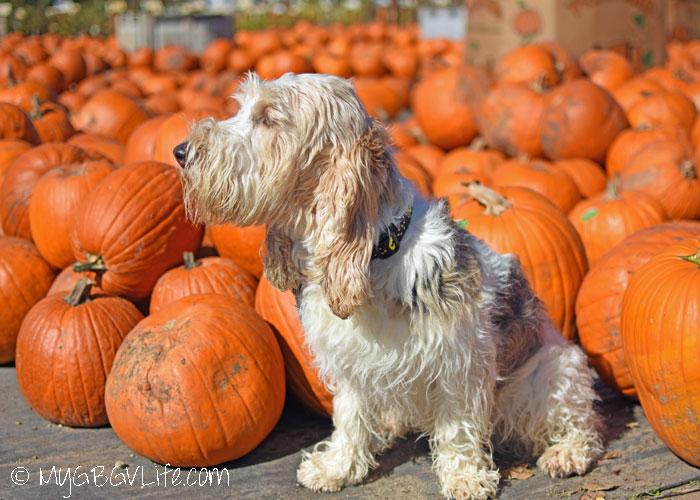 Fall Shopping At Dog Friendly Pahl's Market