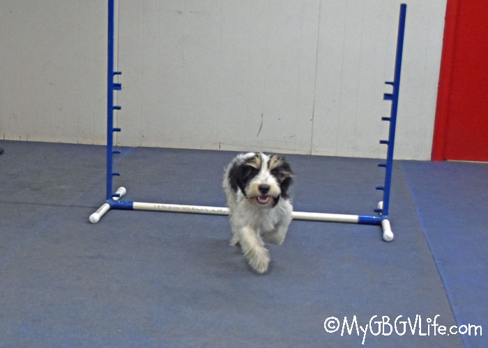 My GBGV Life Madison Completes Puppy Agility Class