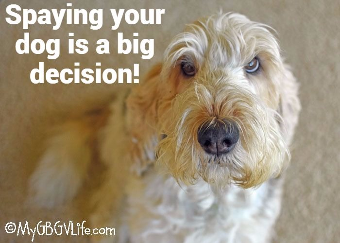 My GBGV Life Should You Spay Your Dog? It Is A Big Decision!