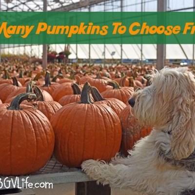 Pumpkin Shopping – So Many Pumpkins, So Little Time