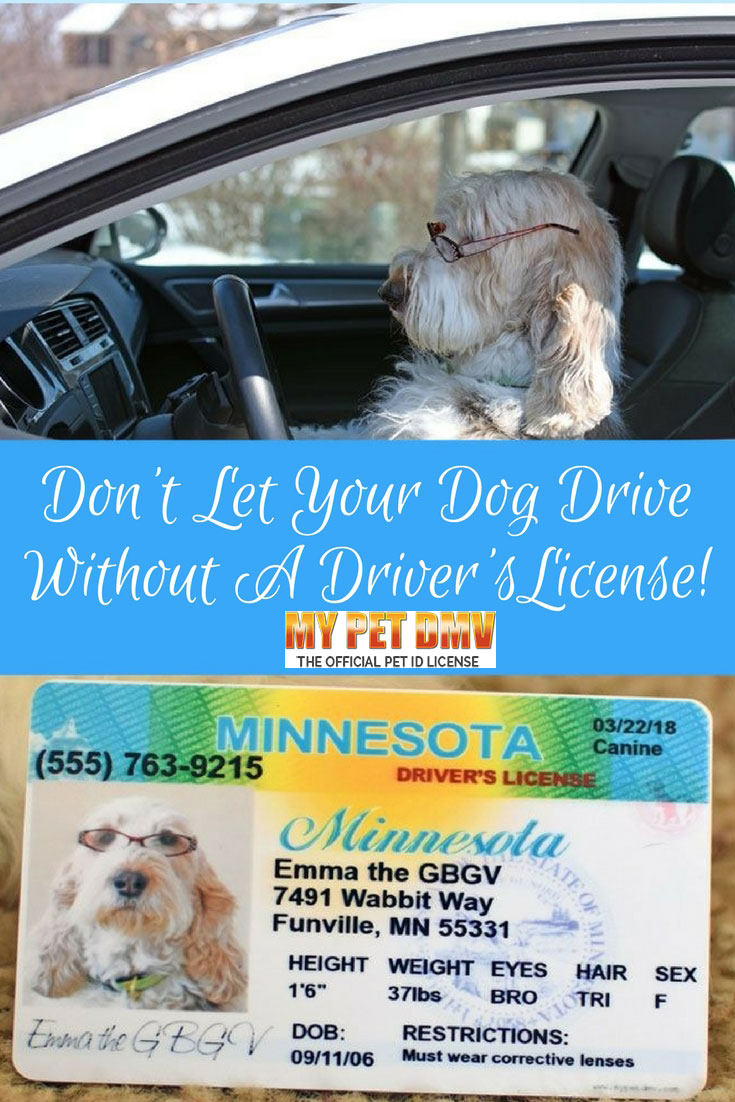 My GBGV Life Driving Dog? Don't Let Your Dog Drive Without A Driver's License!