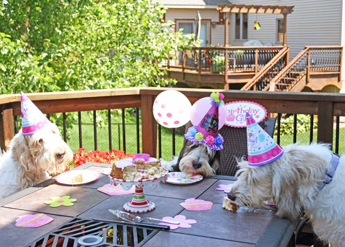 My GBGV Life Let's Party! When Hounds Celebrate A Second Birthday!