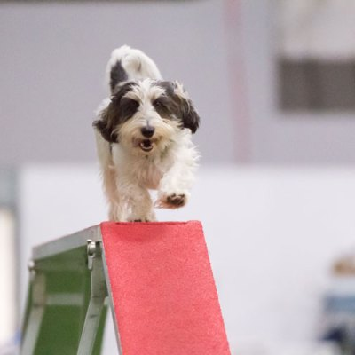 How Does A Happy Agility Dog Look?