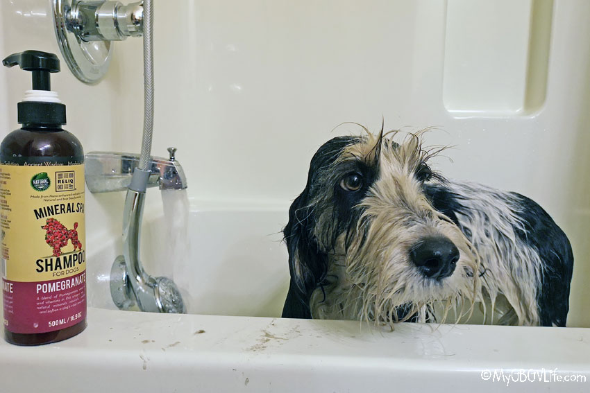 My GBGV Life Spring Cleaning The Dog - The Fear A Bath Is Near