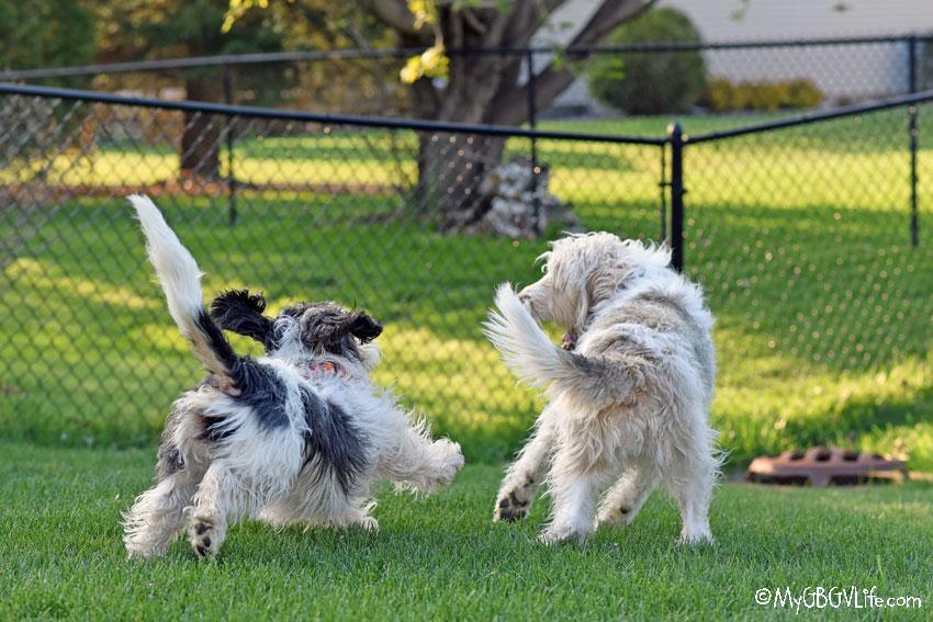 My GBGV Life Madison chasing