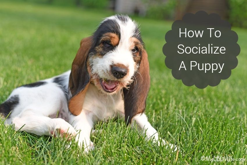 My GBGV Life How To Socialize A Puppy And Why It's Important