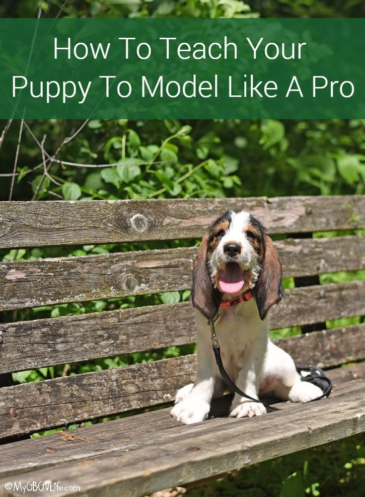 My GBGV Life How To Teach Your Puppy To Model Like A Pro
