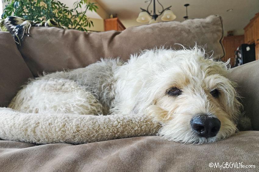 My GBGV Life Bailie resting