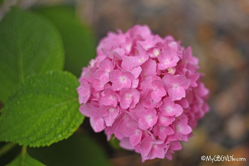 My GBGV Life pink hydrangea