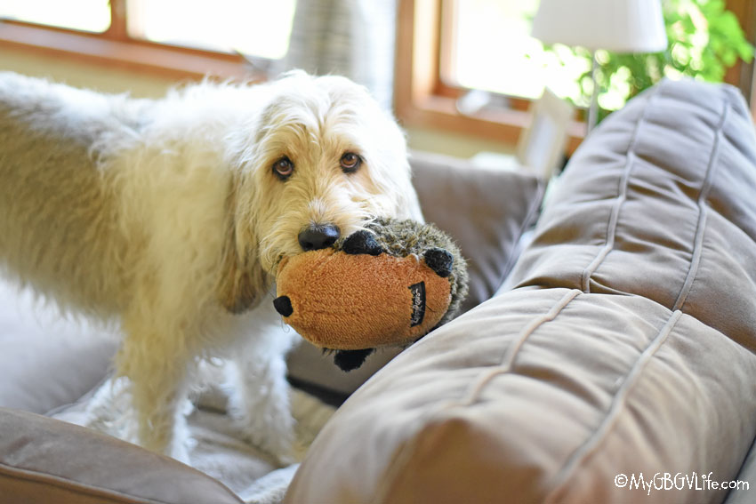 My GBGV Life Bailie with hedgehog