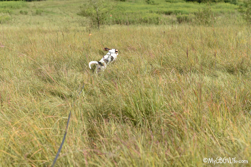 My GBGV Life tracking in tall grass