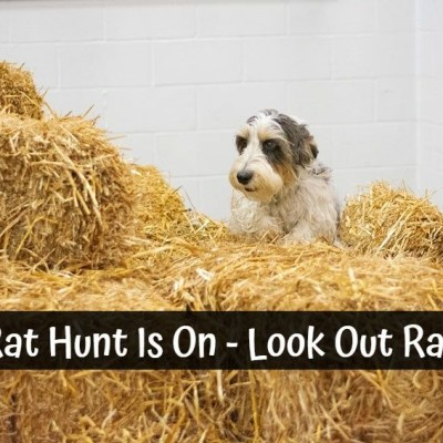 The Rat Hunt Is On – Look Out Ratties!