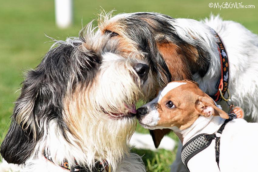 My GBGV Life Danish-Swedish Farmdog
