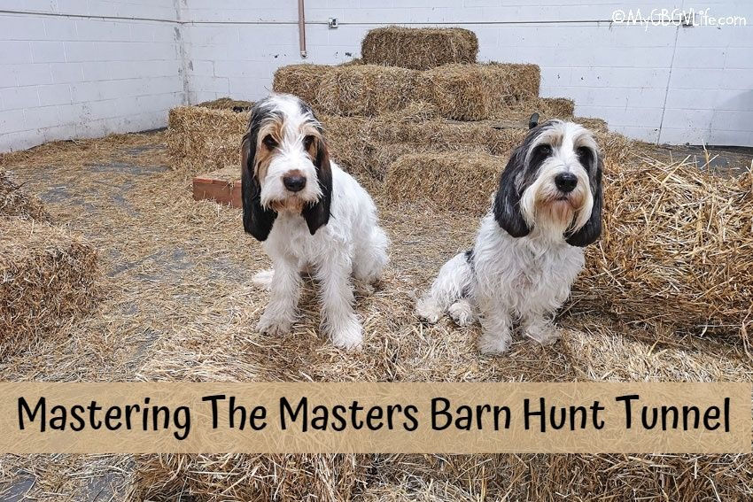 My GBGV Life Mastering The Master Barn Hunt Tunnel
