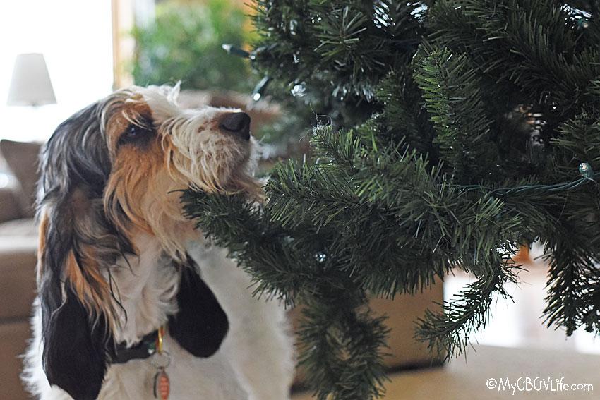 My GBGV Life Olivia sniffin the tree