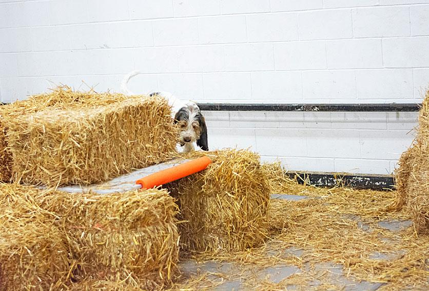 My GBGV Life barn hunt trial