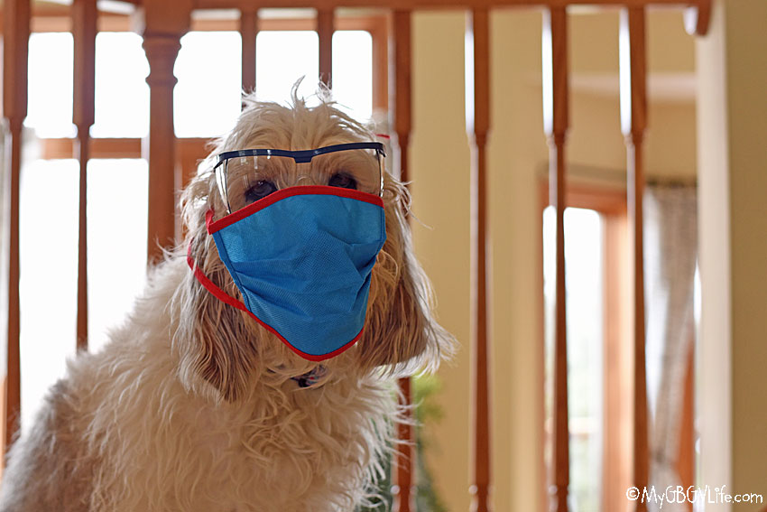 My GBGV Life dog in a mask