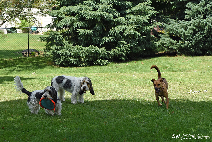 My GBGV Life A Fun Spontaneous Doggy Playdate With Our Neighbor