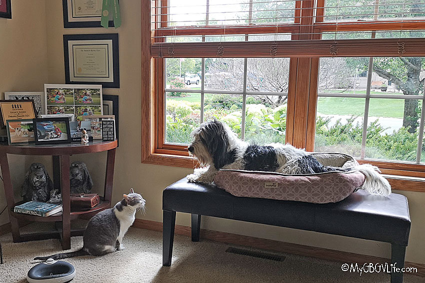 My GBGV Life The Battle Of The Coveted Window Seat On Feline Friday