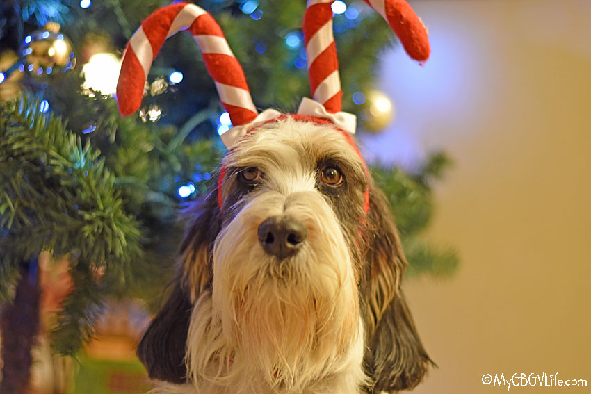 My GBGV Life Time To Get Fur Ready For The Howlidays